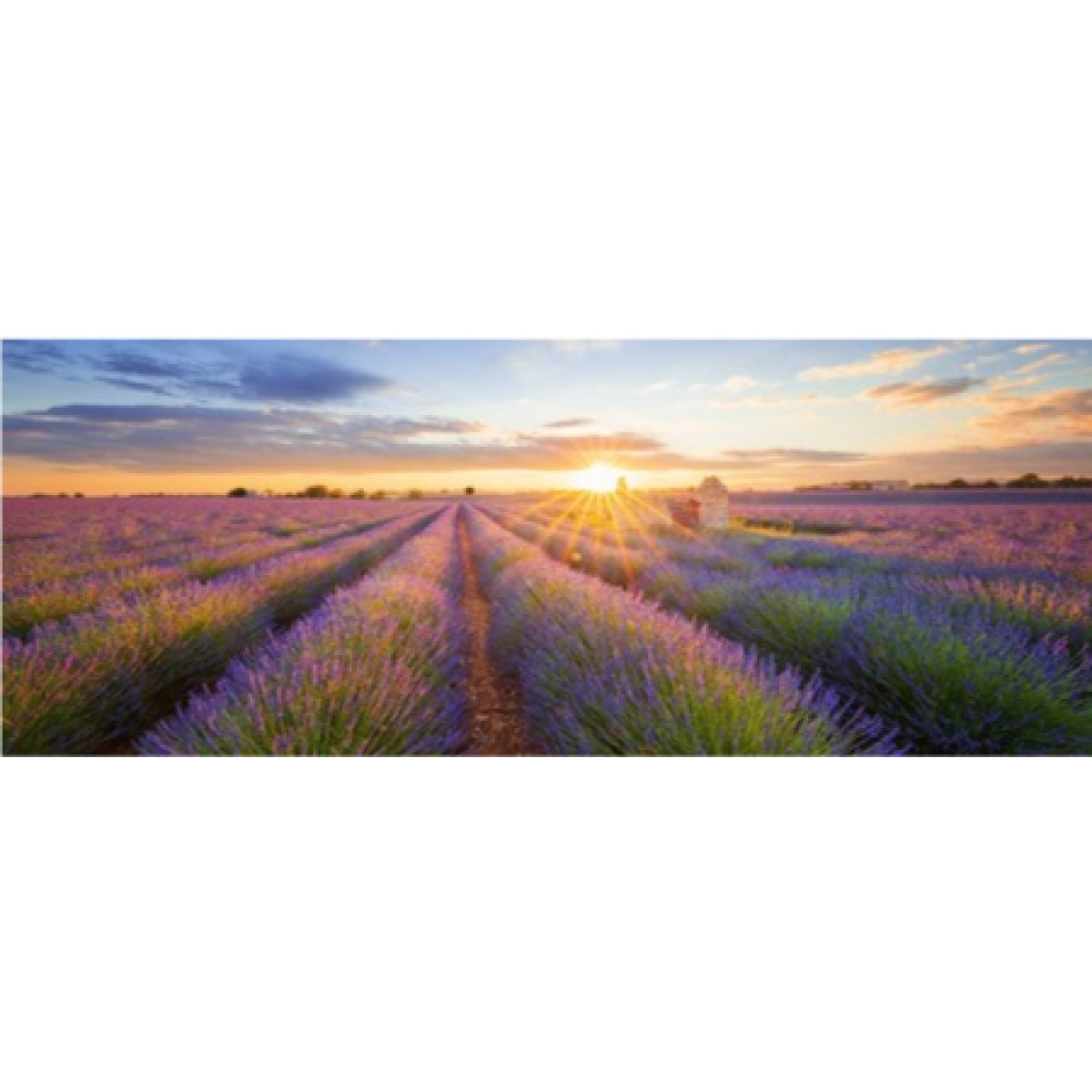 Lavender In Valensole