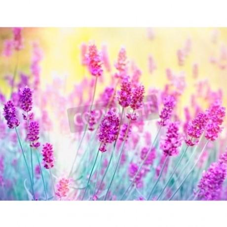 Lavender Lit By Sunlight