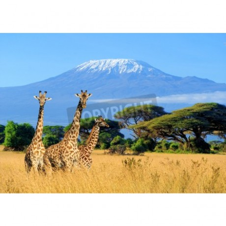 Three giraffe on Kilimanjaro mount background in Kenya, Africa